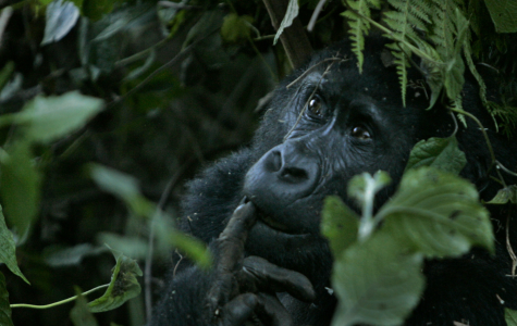 Ellen DeGeneres works with the Dian Fossey Gorilla Fund to support Rwanda goriallas.