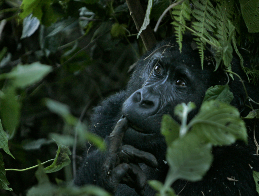Ellen+DeGeneres+works+with+the+Dian+Fossey+Gorilla+Fund+to+support+Rwanda+goriallas.