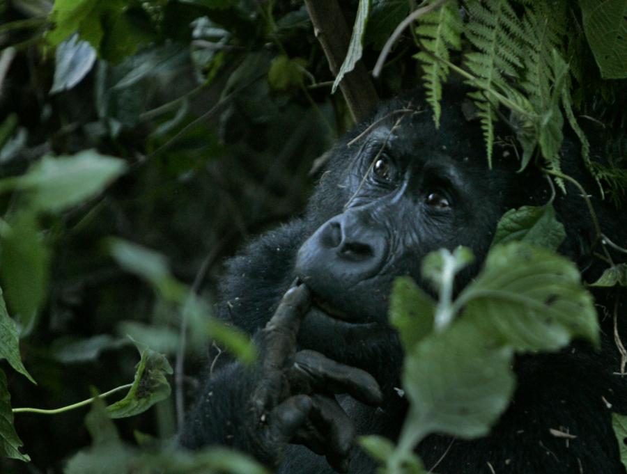 Ellen DeGeneres works with the Dian Fossey Gorilla Fund to support Rwanda goriallas.