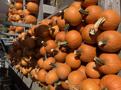 Small pumpkins at Massey