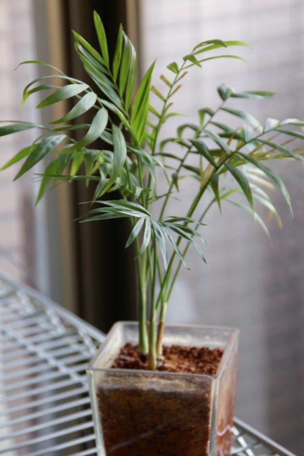 Parlor+Palm+plant